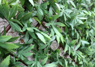 Green Acer Trellis