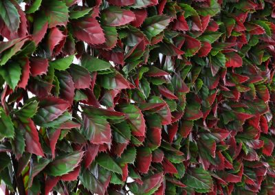 Red Varigated Beech Trellis